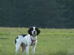 our black and white brittany spaniel 5 months old Brittany Spaniel, 5 Month Olds, 5 Months, This Is Us, Black And White, Dogs, Animals, Animales, Black N White