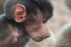 Baby #Baboon! Wiley, son of #Sudi.