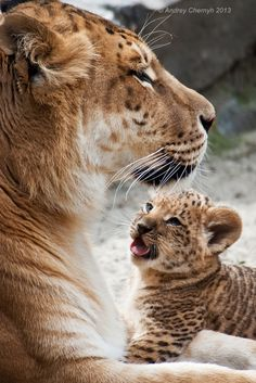 Liger mom and kid  (by Andrey Chemyh)