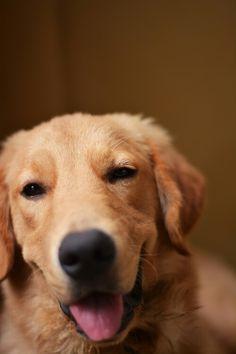 Smileeee #golden #retriever #dog
