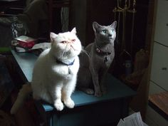 Mochi Exotic Shorthair & Kaibosh Russion Blue- Cats waiting for a string