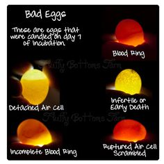 Bad egg guide~~~~~ Incubating and Hatching Eggs great site