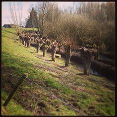 Een rijtje geknotte wilgen in Oud-Zevenaar... (gemeente Zevenaar) soms is geluk heel gewoon... Op zondag 17 maart 2013  via @DorotheVos.