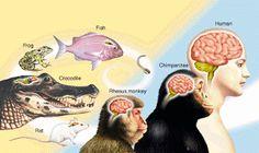 Wiring the Brain: Ancient origins of the cerebral cortex