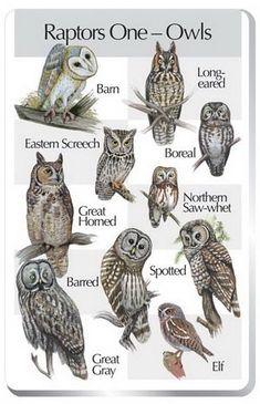 Halloween Science: Raptors One (Owls) Barn Owl Eastern Screech Owl Great Horned Owl Barred Owl…