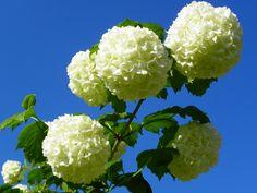 Viburnum (sneeuwbal) #Viburnum  #sneeuwbal