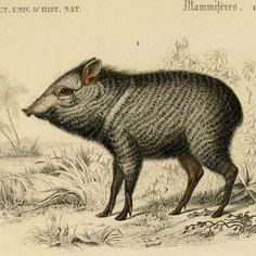 Collared Peccary (Pecari tajacu) for #MammalMonday! #SciArt by Édouard Traviès. Charles Dessalines d'Orbigny, Dictionnaire d'Histoire Naturelle (1849).