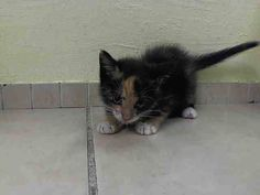 NYACC **URGENT**EXTRA CUTE CALI/TORBIE BABY** TO BE DESTROYED 7/16/14 Manhattan Center  My name is QUESARITO. My Animal ID # is A1006110. I am a female torbie and calico domestic mh mix. The shelter thinks I am about 9 WEEKS old.   https://m.facebook.com/photo.php?fbid=831379373540563&id=155925874419253&set=a.576546742357162.1073741827.155925874419253&source=43