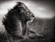 Bid now on Lion Before Storm I by Nick Brandt. View a wide Variety of artworks by Nick Brandt, now available for sale on artnet Auctions. Nick Brandt, Beautiful Creatures, Animals Beautiful, Cute Animals, Beautiful Lion, Wild Animals, Majestic Animals, Simply Beautiful, Absolutely Stunning