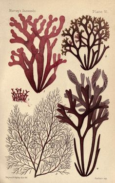Vision Studio Poster Print Wall Art Print entitled Seaweed Specimen in Coral II Fauna Marina, Sea Plants, Framed Artwork, Wall Art, Illustrations, Botanical Prints, Seaweed, Sea Creatures, Natural History