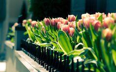 Tulipas Primavera flores close-up, fotografia desfocada Papéis de Parede - 2560x1600