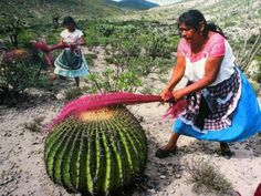 """Guess I could use a cactus! """"Carding Wool"""" Otomi women with barrel cactus in Mexico carding dyed wool into roving. Spinning Wool, Hand Spinning, Spinning Wheels, Textiles, Barrel Cactus, Drop Spindle, Art Du Fil, Fibres, Cacti And Succulents"""