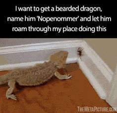 He will save us all… video<< Nopenommer is the best name I've ever heard for a Bearded Dragon. One will be mine one day. I have an empty 40 gallon aquarium versus a tiny 20gallon. But noooo my finicky lizard prefers the smaller cage?!? Yup. #beardeddragonideas