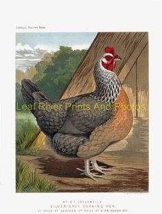 new to site Silver-Grey Dorking Hen