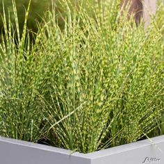 Chinaschilf Pool Plants, Garden Plants, Ornamental Grasses, Container Gardening, Mother Nature, Modern Farmhouse, Herbs, Landscape, Flowers