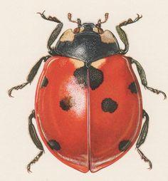 vintage ladybug illustration