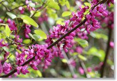 California Redbud Tree (Cercis occidentalis)