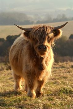 Wooly longhaired  cow!peace out dude