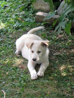 Canaan #Dogs #Puppy