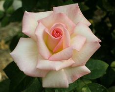 Great Flower Supply Expert Services Available Online Pink Promise Pretty Roses, Beautiful Roses, Beautiful Gardens, Exotic Flowers, Silk Flowers, Rose Reference, Hearts And Roses, Rose Wallpaper, Love Rose