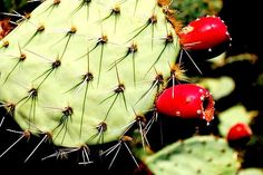 Prickly pears reduce alcohol hangover symptoms