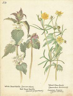 Flower Print - Nettle - Crowfoot - Vintage Botanical Book Plate Print - Country…