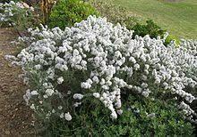 Eriocephalus africanus - Wikipedia, the free encyclopedia Botany, Outdoor Decor, Planters, Lawn Food, Landscape, Plants, Drought