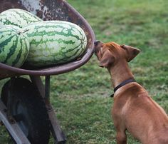 how to choose a sweet ripe watermelon