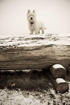 I am Crumpet 3  Westie  West Highland terrier  Dog by shortwork, $16.00