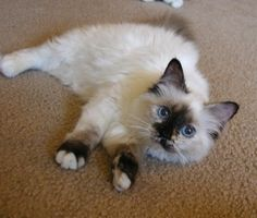 Seal Tortie Point Birman cat