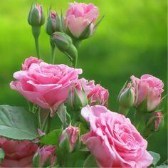 Romantic Pictures, Love Rose, Peonies, Garden, Floral, Flowers, Plants, Cute, Garten