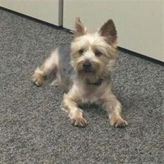 Found Dog - Yorkshire Terrier Yorkie - Bedford Heights, OH, United States 44146 on July 08, 2016 (13:00 PM)