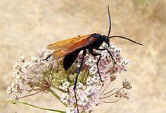 Pepsis (ou les guêpes Pepsis) est un genre d'insectes hyménoptères, de la famille des Pompilidae (guêpes chasseuses d'araignées) Pepsis formosa.  Les espèces de ce groupe sont connues pour être classées à la deuxième plus grande valeur dans l'index Schmidt de pénibilité des piqûres d'hyménoptères (Justin O. Schmidt Pain Index), créé par Justin O. Schmidt.