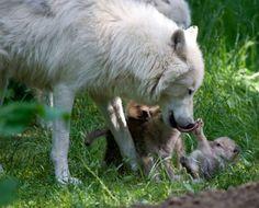 Wolf Pups    http://www.thewolfwhisperer.com/