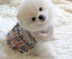 White Pomeranian Pom Pom Puppy Dogs (Similiar to the Volpino Italiano / Italian Spitz )