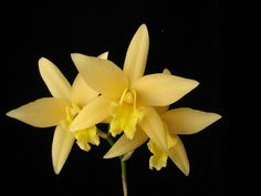 Laelia Canariensis 'Hawaii Gold'