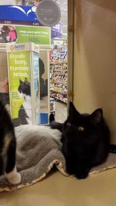 Some of the Angel of Hope cats and kittens at Maple Grove PetSmart! We have 5 beautiful cats available for adoption! Patsy Cline (2 yr old blk/wht), Petunia (11 wk old blk/wht) and her sister Elvira (11 wk old blk), Pure (9 wk old grey) adopted! - her sisters Blue and Kitler were both adopted today) and Nefertiti (2 yr old seal point Siamese). They all need loving homes.