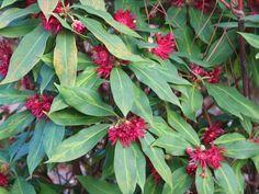 Florida Anise - Illicium floridanum