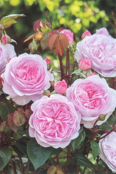'Olivia Rose Austin' | Shrub. English Rose Collection. Production 2014 United Kingdom David Austin