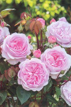 'Olivia Rose Austin'    Shrub.  English Rose Collection. Production 2014 United Kingdom David Austin