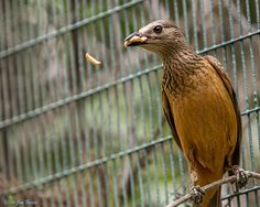 Fawn-breasted-Bowerbird (Chlamydera cerviniventris) -- mealworm in flight