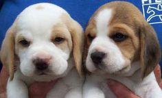 Beagles melt my heart!!!!
