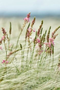 pretty wild grass - check this out for Kansas retirement home :)