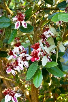 14 Favorite Front Yard Trees | HGTV Fruit Plants, Fruit Trees, Trees To Plant, Pineapple Guava Tree, Shrubs For Sale, Trees For Front Yard, Monrovia Plants, Specimen Trees, Plant Catalogs