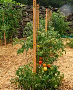 Taming your tomatoes   Fine Gardening Magazine