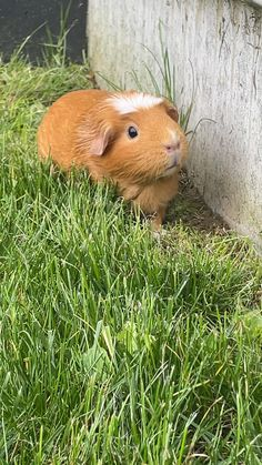 Cute Baby Animals, Farm Animals, Funny Animals, Funny Animal Videos, Guinea Pigs, Animal Photography, Memes, Rabbit, Animals