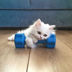 Do you even lift? {Courtesy of @kedimochi} #meowbox #gains #fitspo