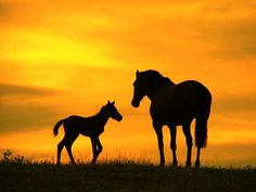 Horse and foal | Silhouette