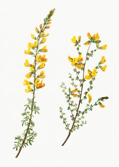 Vintage cytisus complicatus and cytisus telonensis branches Illustration Botanique, Illustration Blume, Illustration Flower, Floral Illustrations, Plant Aesthetic, Aesthetic Drawing, Botanical Flowers, Botanical Art, Vintage Botanical Illustration