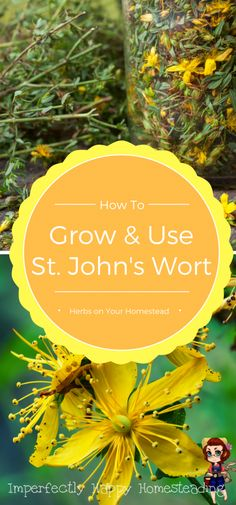 Herbs on the Homestead: Growing and Using St. John's Wort, What You Need to Know - benefits, uses and precautions.